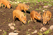 Domestic pig, Sus scrofa domesticus, Tamworth piglets, in field at Toscaig, by Applecross, Ross-shire, Highland.