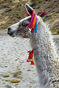 Colored tassels on a friendly llama mark ownership as it grazes on communally managed land at Lake Surasaca, in the Cordillera Raura, Peru, at the end of our Huayhuash trek, in the Andes Mountains, South America.