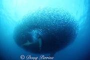 copper sharks or bronze whalers, Carcharhinus brachyurus, feed in a baitball of sardines, Sardinops sagax, during the annual Sardine Run up the east coast of South Africa ( Indian Ocean )
