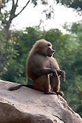 A male hamadryas baboon (Papio hamadryas). Captive. Range: semi-arid plains and rocky hills in Ethiopia, Somalia, Saudi Arabia, and Yemen.