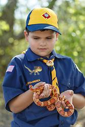 Boy in Cub Scout uniform examining corn snake, Mitchell Lake Audubon Center, San Antonio, Texas, USA.