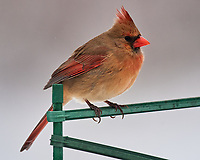 Northern Cardinal (Cardinalis cardinalis). Image taken with a Nikon D5 camera and 600 mm f/4 VR lens.
