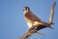 American Kestrel - Falco sparverius - Adult female