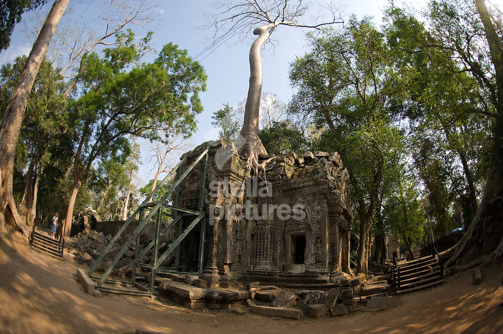 Picture by Daniel Hambury. .26/2/11..Ta Prohm, temple in Angkor, Cambodia..Trees growing out of the ruins are perhaps the most distinctive feature of Ta Prohm.