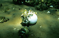 Zebra Mussels attached to golf ball<br />
