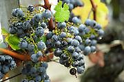 Bunches of ripe grapes. Chateau du Tertre, Margaux, Medoc, Bordeaux, France