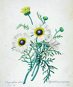 19th-century hand painted Engraving illustration of a Chrysanthemum carinatum aka Tricolor daisy (Ismelia carinata) flower, by Pierre-Joseph Redoute. Published in Choix Des Plus Belles Fleurs, Paris (1827). by Redouté, Pierre Joseph, 1759-1840.; Chapuis, Jean Baptiste.; Ernest Panckoucke.; Langois, Dr.; Bessin, R.; Victor, fl. ca. 1820-1850.