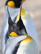 A King penguin (Aptenodytes patagonicus) calls.  Saunders Island, Falkland Islands. 15Feb16