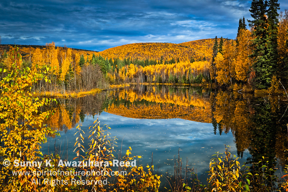 Autumn foliage hillside reflecting on Chena River, Chena  River State Recreation Area, Fairbanks, Interior Alaska.