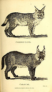 Lynx and Caracal from General zoology, or, Systematic natural history Part I, by Shaw, George, 1751-1813; Stephens, James Francis, 1792-1853; Heath, Charles, 1785-1848, engraver; Griffith, Mrs., engraver; Chappelow. Copperplate Printed in London in 1800. Probably the artists never saw a live specimen