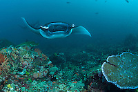 Giant Mantas feeding in the current..Shot in Indonesia