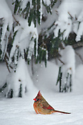 The Northern Cardinal (Cardinalis cardinalis) is a North American bird also known colloquially as redbird or common cardinal. It can be found from southern Canada, through the eastern United States and south to Mexico. It prefers woodlands, gardens, shrublands, and swamps.  The Northern Cardinal has a body length of 8-9 inches and a wingspan of 10-12 inches.  The male is a vibrant red, while the female has a dull red-brown splotchy plumage. The Northern Cardinal is mainly granivorous, but also feeds on fruit or insects.  The cardinal was once prized as a pet, but its sale as cage birds is now banned in the United States by the Migratory Bird Treaty Act of 1918.  This particular female Northern Cardinal is enduring a winter blizzard in Belmont, Massachusetts.