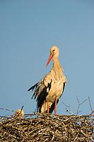 White stork, (Ciconia ciconia), Matsalu Bay nature reserve, Estonia