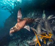 Sea lion on the reef in Coronado Island