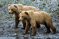 Young Alaskan brown bears in their second year, still dependent on their mother, along the edge of Mikfik Creek, McNeil River State Game Sanctuary, Alaska, © David A. Ponton