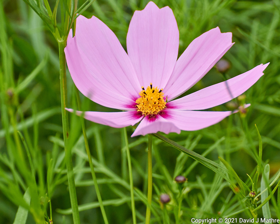 Cosmos. Image taken with a Nikon 1 V3 camera and 70-300 mm VR lens.