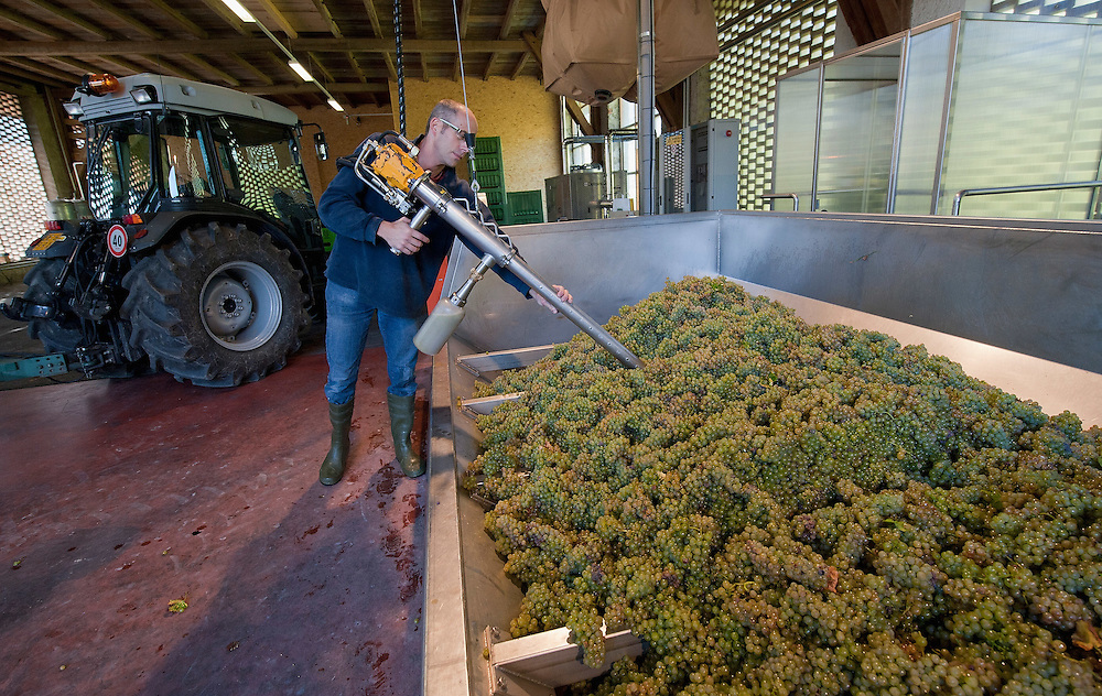 VARNA, ITALY - OCTOBER 13:  An enologist collects camples from harvested grapes for quality tests at  Abbazia di Novacella on October 13, 2010 in Varna, Italy. Abbazia di Novacella, in Alto Adige established in the year 1142 by Augustinian monks, is one of the oldest vineries in the world; it has a production of about 400,000 bottles of world class wines including Kerner, Sylvaner, Pinot Grigio, Gewurztraminer.
