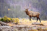 Beautiful bull Elk on the mountain top of the Rockies