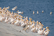 A flock of Great White Pelican, (Pelecanus onocrotalus) on the water edge. This bird, also known as the eastern white pelican, lives in large colonies in Africa and Eurasia. It feeds almost exclusively on fish which it catches by plunging its large bill into the water. It may reach a length of up to 180 centimetres, with a wingspan of almost four metres. Photographed in Israel in September