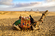 Traditionally decorated camel laying down  in the desert with Khufu's pyramid, Pyramid of Khafre and Pyramid of Menkaure in the background