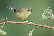 Orange-crowned Warbler - Vermivora celata