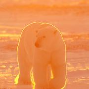Polar Bear male during the winter. Hudson Bay near Churchill, Manitoba, Canada