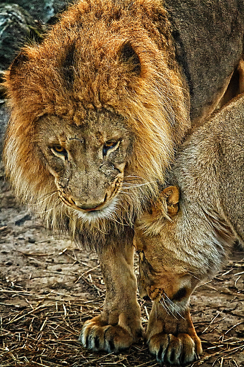 Lions are social cats that live in groups of up to 40 members. These beautiful cats can be seen at the Saint Louis Zoo.