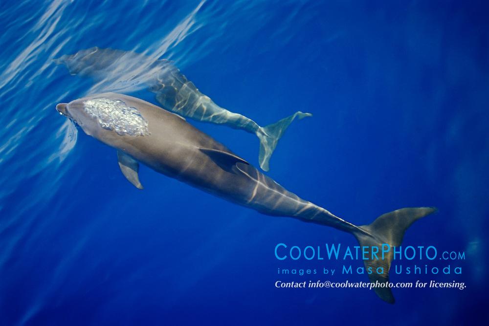 wild bottlenose dolphins, spouting, Tursiops truncatus, off Kona Coast, Big Island, Hawaii, Pacific Ocean