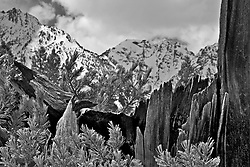 A rotten stump from a burnt tree accents the Grand Teton in Grand Teton National Park.