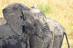 Elephants Wallowing In The Mud
