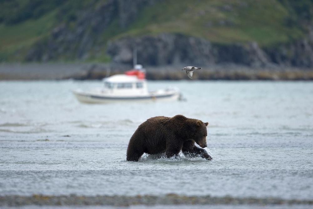 USA, Alaska, Katmai National Park, Kukak Bay, Blurred image of Brown Bear (Ursus arctos) fishing for salmon near C-Dory boat