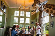 Guests of Giraffe Manor, a luxury lodge situated in Nairobi, eat their breakfasts while the resident Rothchild giraffes poke their heads through the open windows hoping for a treat from the guests, Giraffe Manor, Nairobi, Kenya