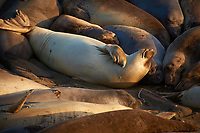 Elephant Seals at Piedras Blancas Beach, Central California Coast. Image taken with a Nikon D3x and 70-300 mm VR lens (ISO 250, 300 mm, f/8, 1/250 sec).