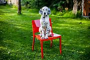 """English Setter Welpe """"Rudy"""" sitzt am 30.04. 2017 auf einem roten Stuhl im Garten.  Rudy wurde Anfang Januar 2017 geboren und ist gerade zu seiner neuen Familie umgezogen."""
