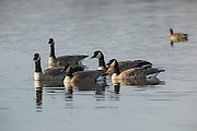 USA, Oregon, Baskett Slough National Wildlife Refuge, Canada Geese (Branta canadensis).