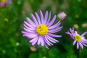 Ants can be seen collecting nectar from a Purple Daisy Osteospermum the common name African Daisy