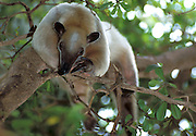 Tree Anteater, Tamamdia mexicana, sitting in tree, captive, Central America,.South America....