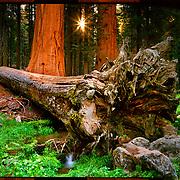 Fallen Sequoia, Sequoia National Park. 4x5 Kodak Ektar 100. photo by Nathan Lambrecht