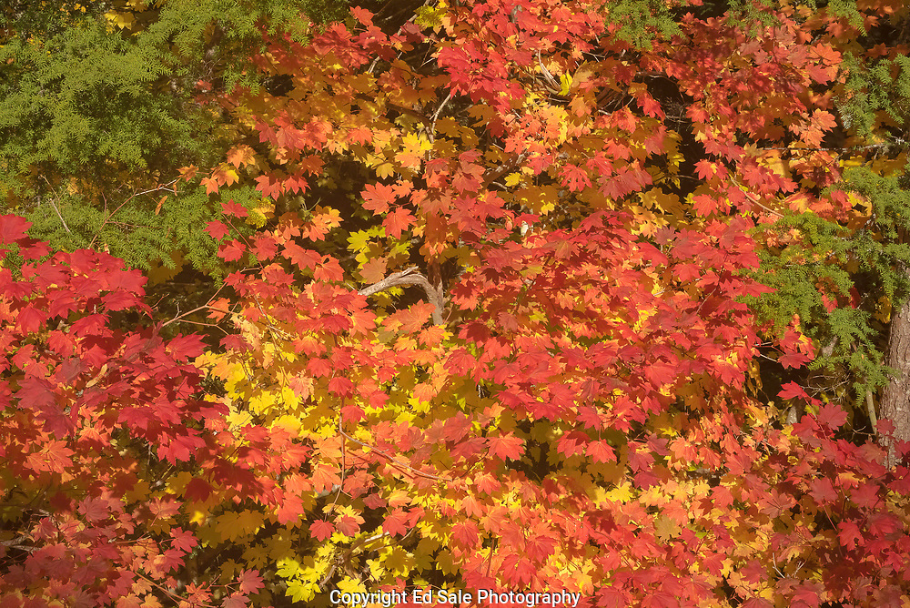 Vivid vine maple leaves mix with green fir branches in the Mt Hood National Forest