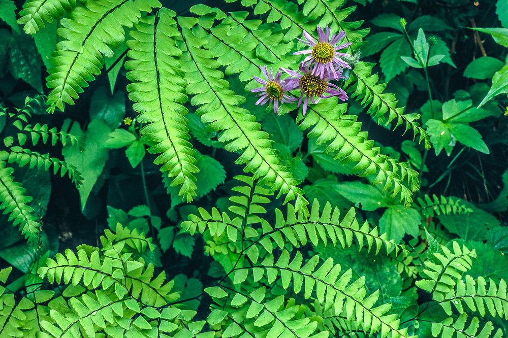 Aster and maidenhair ferns,  April, Great Smoky Mountains National Park, Tennessee, USA
