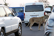 Kruger National Park, South Africa -  <br /> <br /> Tourist Captures Incredible Fight Between Three Lions That Fail To Bring Down An Injured Buffalo. <br /> <br /> We got to Phelwana Bridge in Kruger National Park in South Africa and saw quite a few cars there. As we approached we saw this buffalo sitting on the floor about 10 meters from the road.We were told it was injured and there were lions about 20 meters behind the buffalo.We could not see the lions at that time.As time went on we saw this lions lifting their heads up and down.Sat there for about an hour and nothing happened.The buffalo then tried to lift itself up, with great difficulty, and after some time managed to get on its feet.As it stood up this female lioness came walking towards it and jumped onto the buffalo's back trying to pull it down.The female lioness was injured in the back leg and looked as if it had tried to attack the buffalo previously and was injured in the process.The buffalo started snorting and walking with the lioness on its back trying to escape.It came towards the roads and hit a car in the rear bumper and the lioness couldnt hold on and jumped off.The buffalo still on the road hit another car in the front bumper with its horn.The 2 huge male lions came walking towards the road and just sat down in the distance.After a some time again the female tried 2 more times to bring down the buffalo but with no success. this is after the 2nd attack, lioness playing waiting game, in the background are 2 male lions, zoom in to see. <br /> <br /> Photo Shows: Lioness attacks Water Buffalo lioness courage too strong, doesnt want to let go,biting at the buffo's legs. <br /> <br /> <br /> © Exclusivepix)