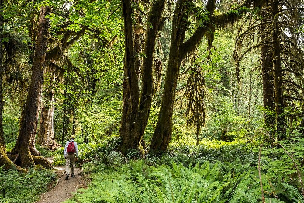 A man hiking the Hoh River trail, Hoh Rainforest, Olympic National Park, Washington, USA.