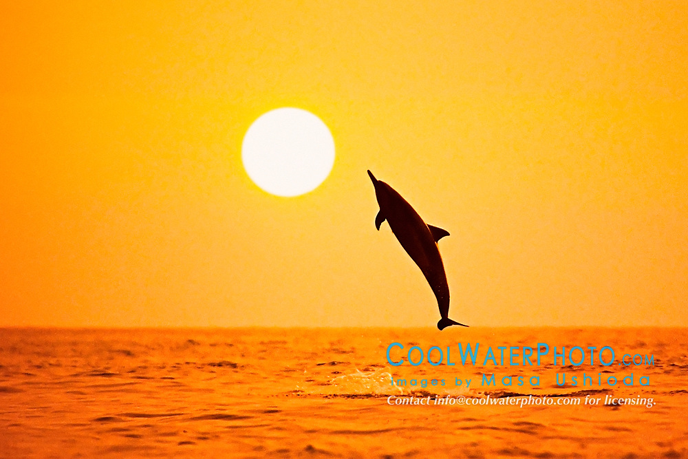 Long-snouted Spinner Dolphin, leaping at sunset, Stenella longirostris, Kona, Big Island, Hawaii, Pacific Ocean (pc)