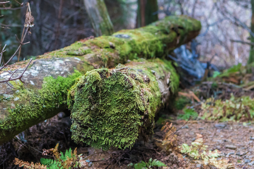 October 13, 2017: Logs with moss rest along the Appalachian Trail at Clingmans Dome.