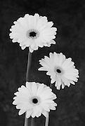 Three Gerbera flowers in black and white.