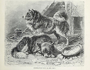 The Pomeranian Dog From the book ' Royal Natural History ' Volume 1 Section II Edited by  Richard Lydekker, Published in London by Frederick Warne & Co in 1893-1894