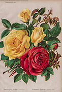 Hand painted and coloured Bouquet of Red and yellow roses 1887 from Rosen-Zeitung, Organ des Vereins Deutscher Rosenfreunde, 1887 [Periodical of the German Rose Society (Vereins Deutscher Rosenfreunde)] by C. P. Strassheim