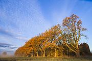 Sunlit oak (Quercus robur) alley with golden brown autumn leaves in sunrise, near Limbaži, Latvia Ⓒ Davis Ulands   davisulands.com