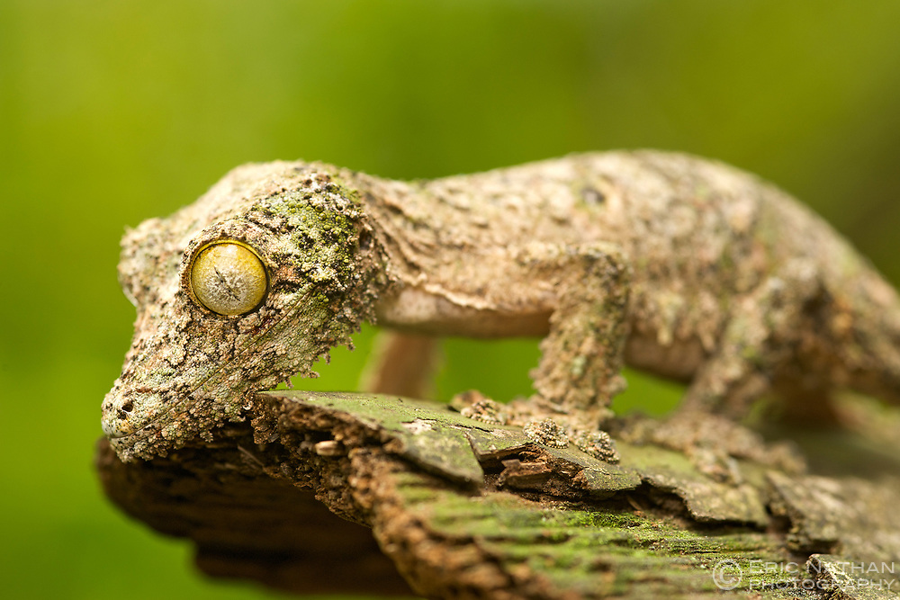 Mossy leaf-tailed gecko (Uroplatus sikorea) on a piece of bark in eastern Madagascar.