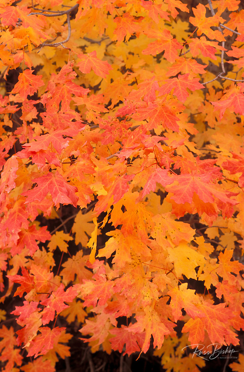Bigtooth maple leaves in autumn, Upper Zion Canyon, Zion National Park, Utah